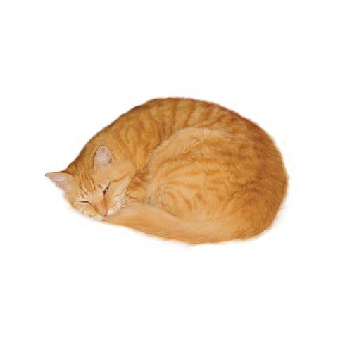 cat marmalade sleeping