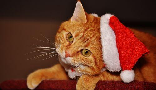 cat red santa hat