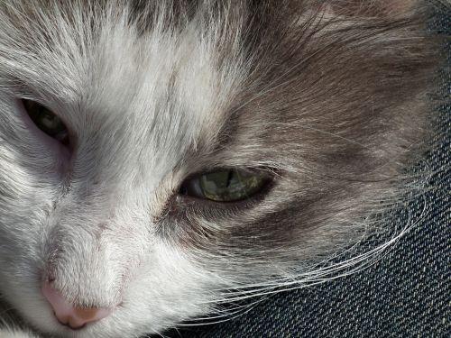 katė,naminis gyvūnėlis,mielas,gyvūnai,kačiukas,Scott,gyvūnas,mieguistas katinas,mieguistas,augintiniai,gražus,saldus