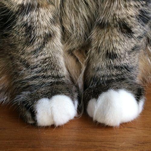 cat paws mieze