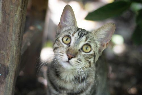 katė,kačių,naminis gyvūnėlis,gyvūnas,švelnus