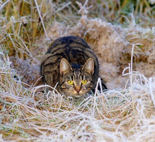 cat hunter lurking
