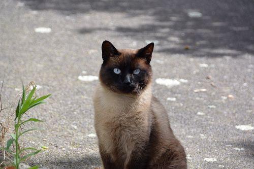 cat siamese cat domestic animal