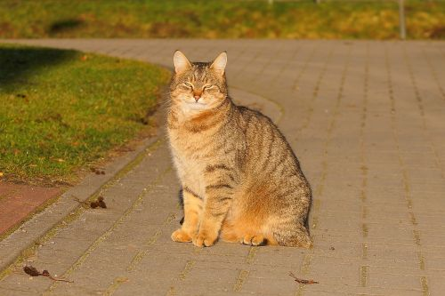 cat female domestic cat