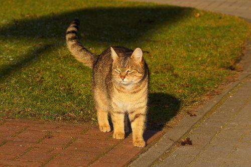 cat female domestic cat