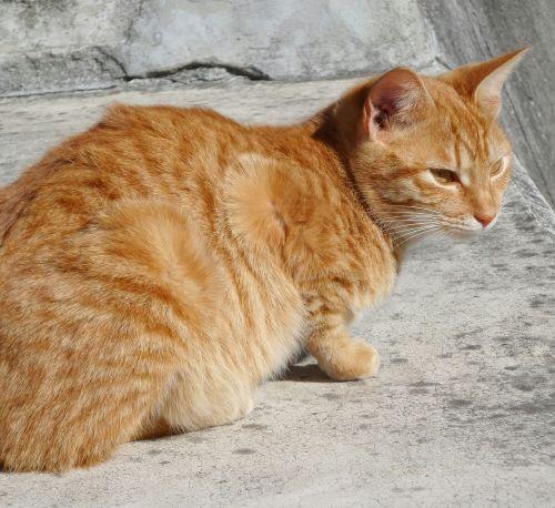 katė,raudona,betonas,laukiniai,poilsis,žiūrėti,žiūrėti,poilsio