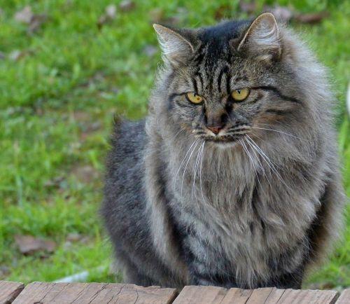 cat pet domestic