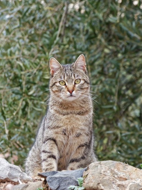 katė,housecat,sulaikymas,išsamiai,brindle,kačių