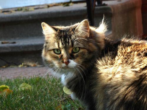 cat staring domestic