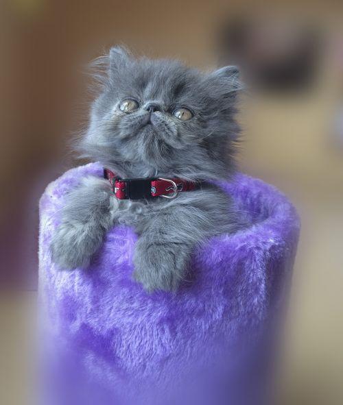 cat persian feline