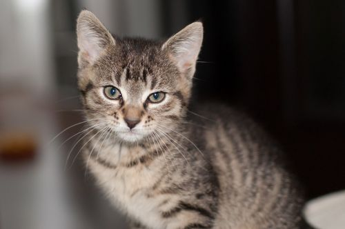katė,gyvūnas,kačiukas,naminis katinas,Tomcat,naminis gyvūnėlis,gyvūnai