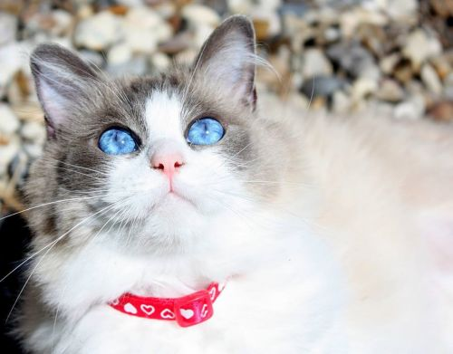 cat ragdoll cat purebred