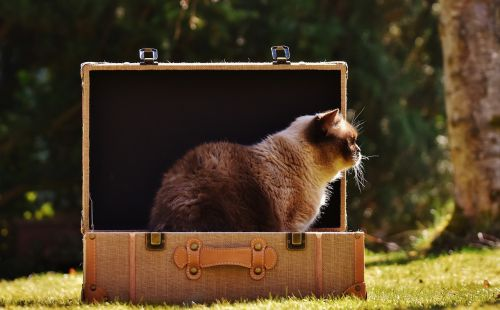 cat british shorthair luggage
