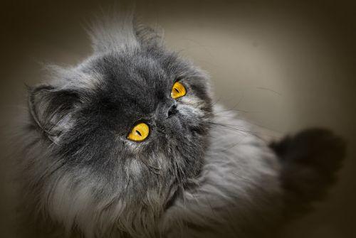 cat persian cat persian