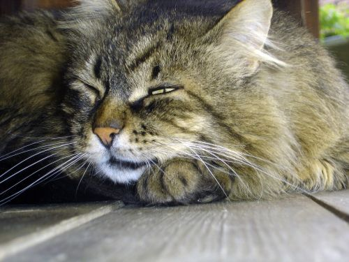 katė,gamta,vidaus,naminis gyvūnėlis,gyvūnas,žinduolis,kačiukas