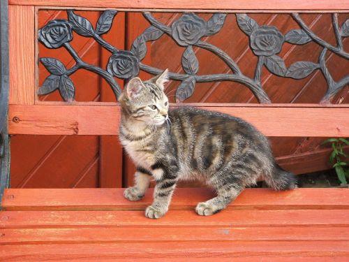 cat kitten tabby