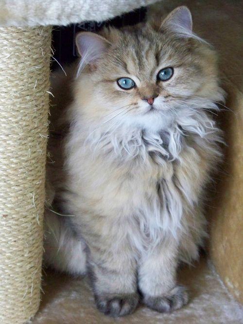 cat persian persian golden