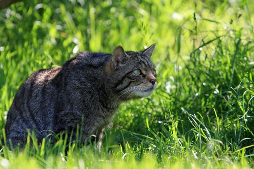 cat scottish wild