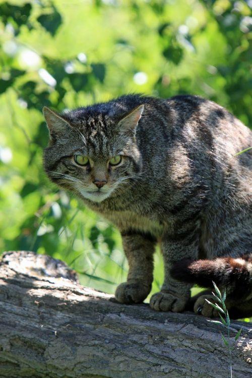 cat scottish wild