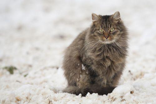 cat tomcat snow
