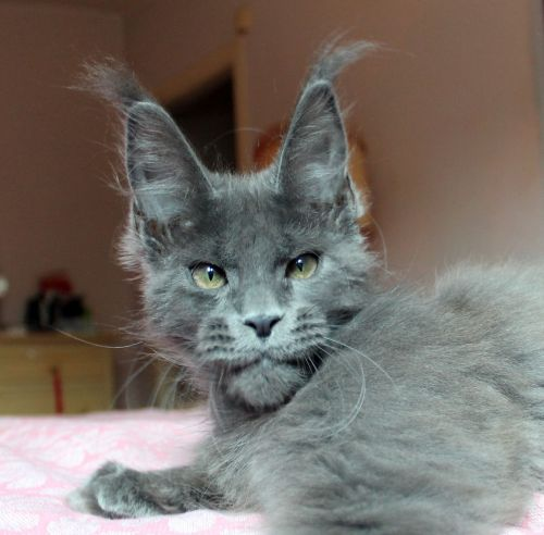 cat mainecoon puppy