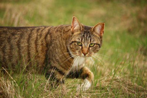 cat domestic cat tiger cat
