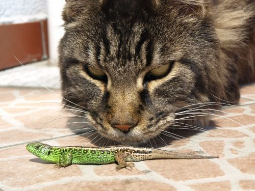 cat the lizard observation