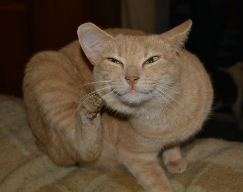 cat red brown scratch