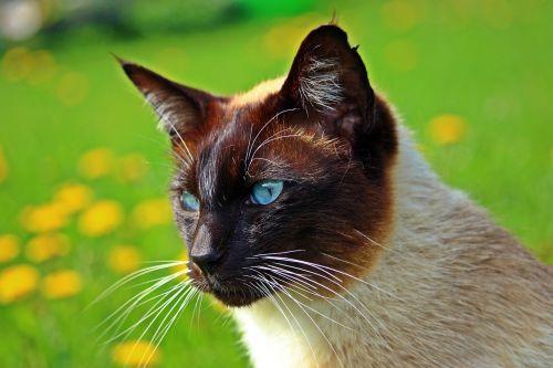 cat siam breed cat