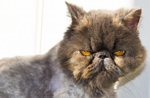 cat persian persian cat