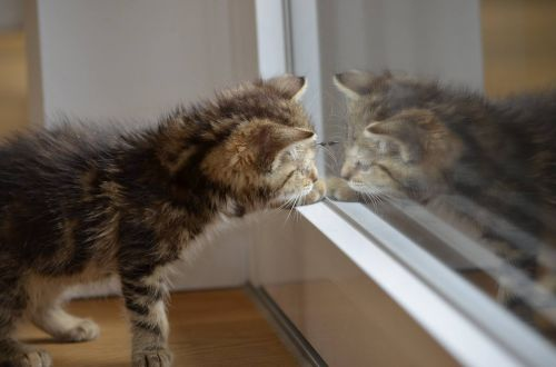 cat mirror kitten