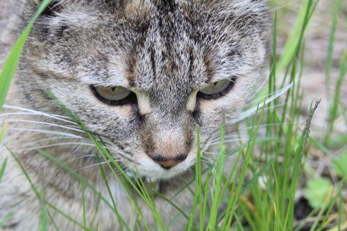 cat grass lurking