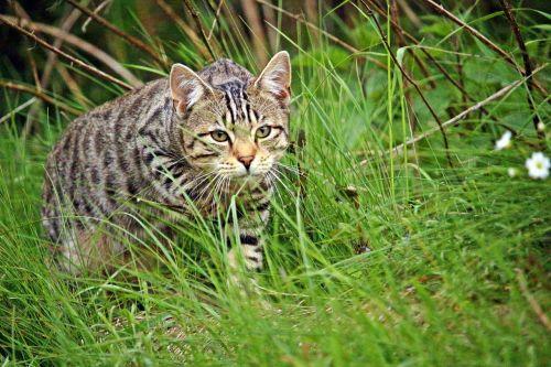 cat tiger tiger cat