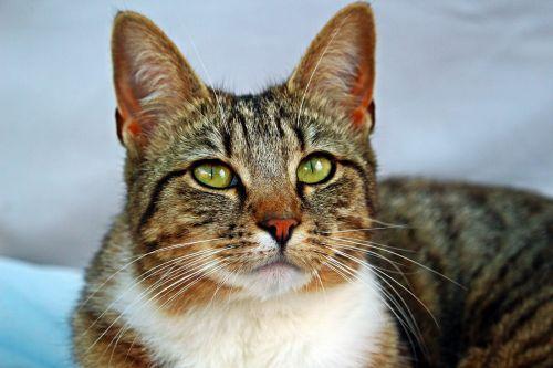 cat tiger cat mackerel