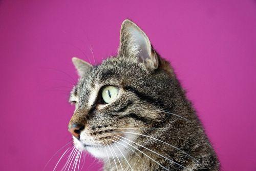 cat mieze animals