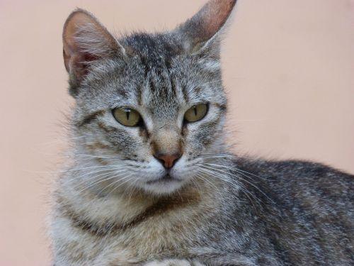 cat gata female