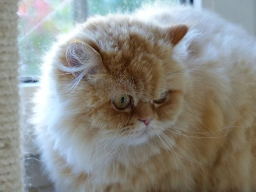 cat fluffity cat face