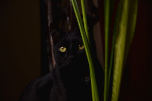 cat black domestic cat