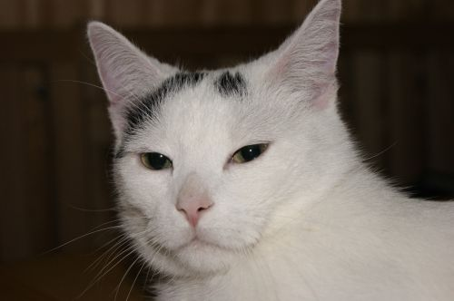 cat domestic cat cat face