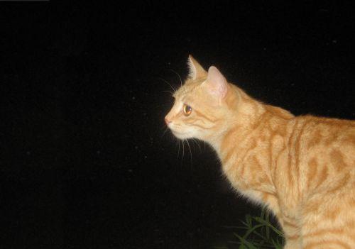 cat tomcat night