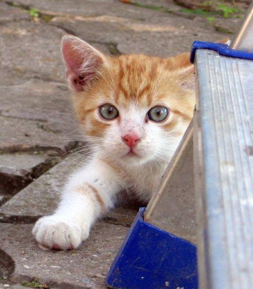 katė,Tomcat,kačiukas