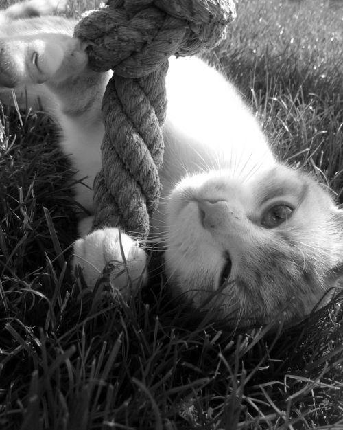 katė,Tomcat,žaisti