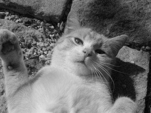 katė,Tomcat,juoda