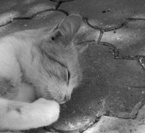 katė,Tomcat,gyvūnas