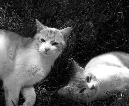 katė,Tomcat,katės