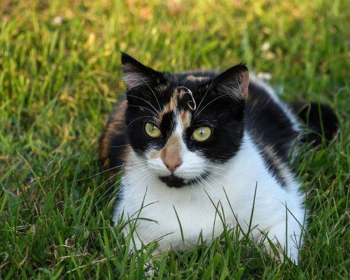 cat tricolor grass
