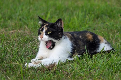 cat tricolor yawn
