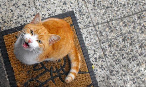 cat tomcat pet