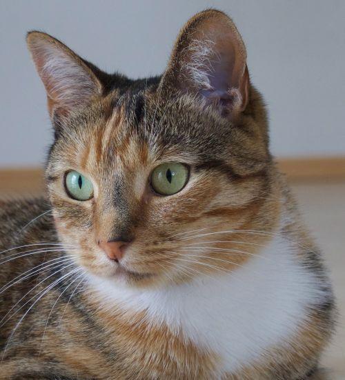 cat animal tabby