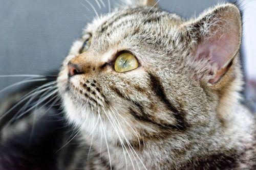 cat british shorthair breed cat